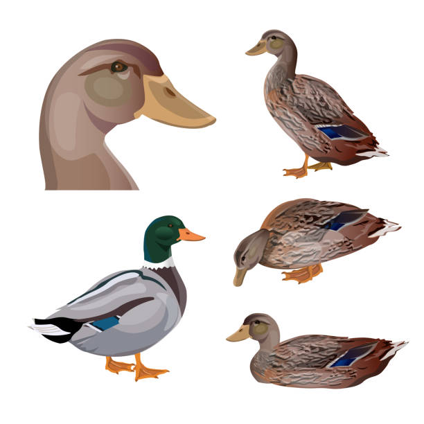 Set of vector ducks Set of ducks in different poses. Vector illustration isolated on the white background drake male duck stock illustrations
