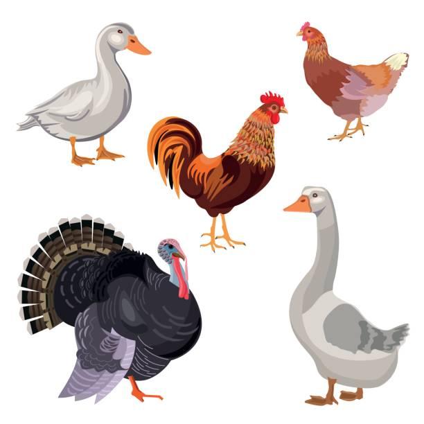 satz von vektor-bauernhof vögel - gans vogel stock-grafiken, -clipart, -cartoons und -symbole