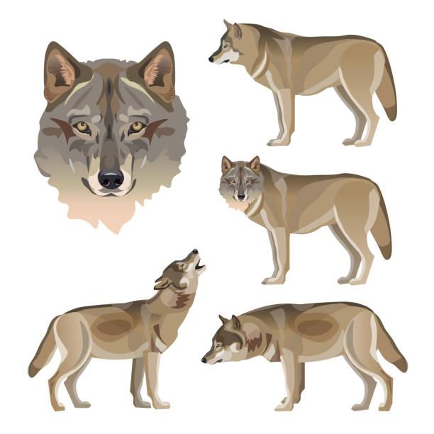 illustrazioni stock, clip art, cartoni animati e icone di tendenza di set of vector gray wolves - lupo