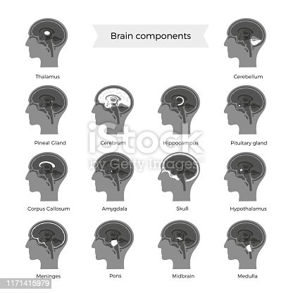 Set of vector isolated illustration of brain components in man head. Human brain detailed anatomy. Medical infographics for poster, educational, science and medical use. Sagittal view of the brain