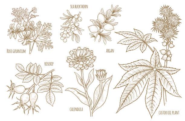 satz von vektor-bilder von heilpflanzen. - wunderbaum stock-grafiken, -clipart, -cartoons und -symbole