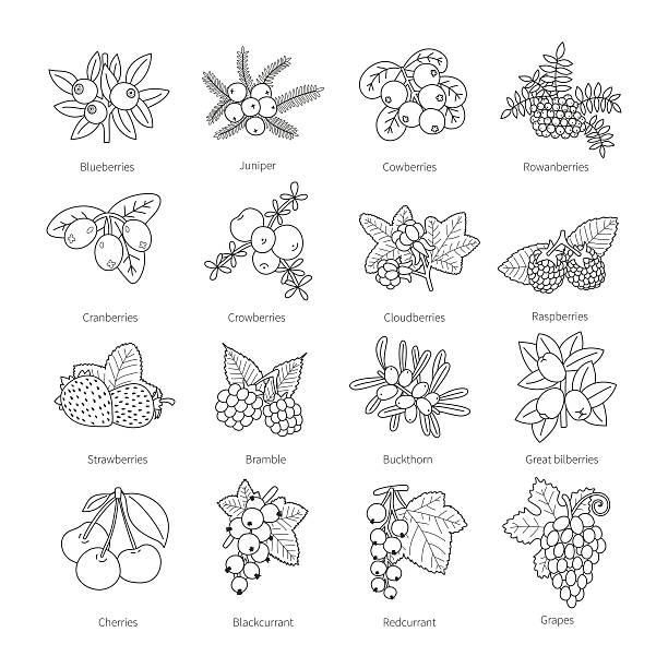 Set of vector outline doodle pied berries isolated on white Set of vector outline doodle pied berries isolated on white black currant stock illustrations