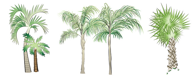 Set of Vector Palm Trees