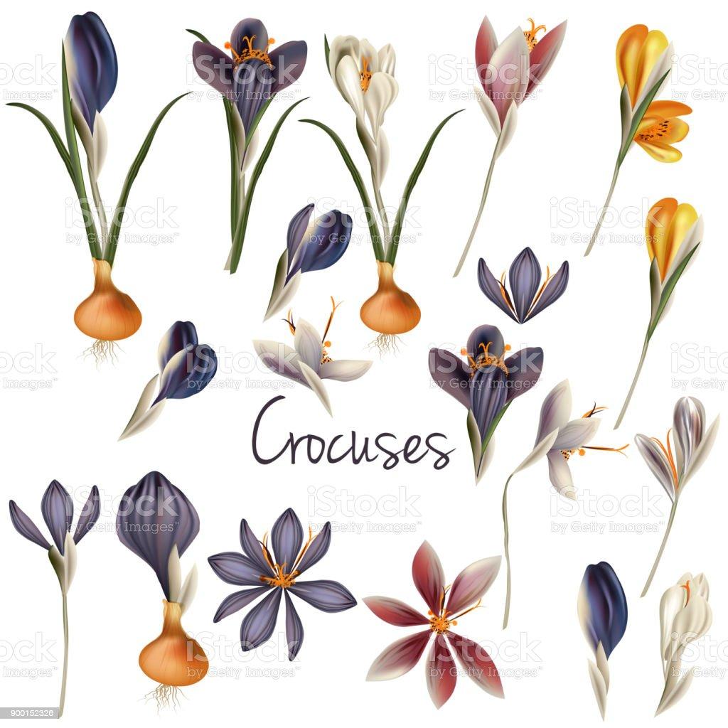 Set of vector realistic crocus flowers in pastel colors