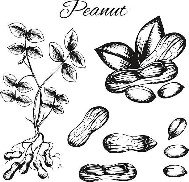 Royalty Free Peanut Plant Clip Art, Vector Images