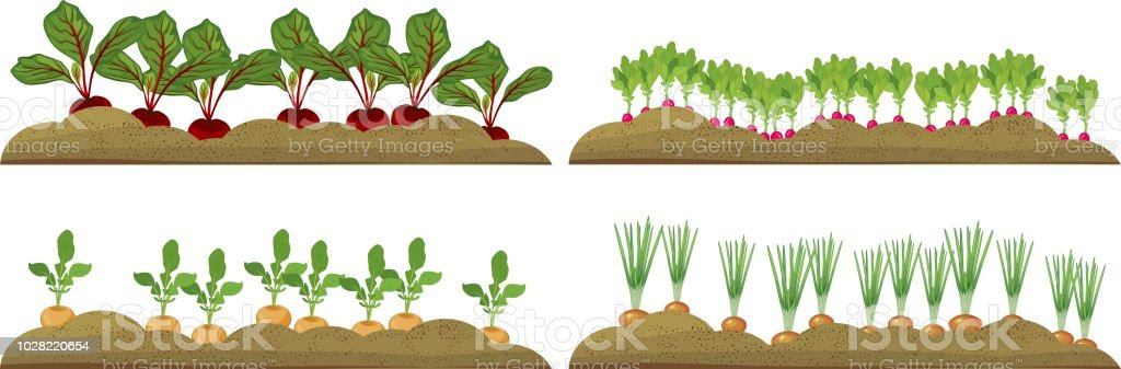 Set of vegetable plots with different root vegetables