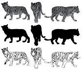 Set of walking Tigers Illustration
