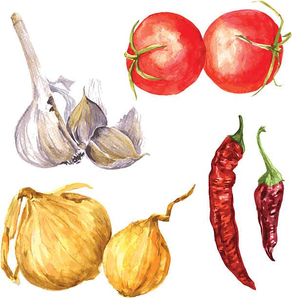 illustrazioni stock, clip art, cartoni animati e icone di tendenza di set di acquerello disegno cipolle - aglio cipolla isolated