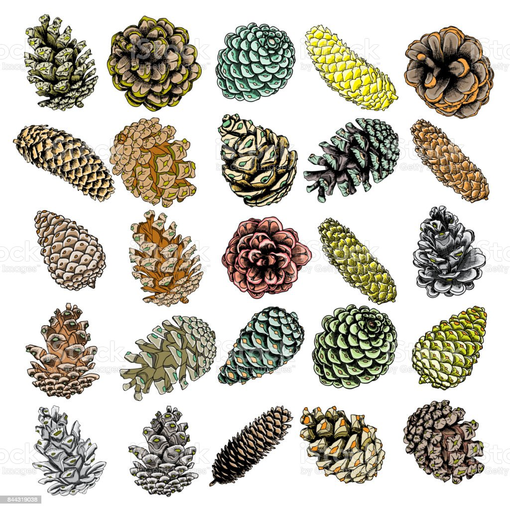 Set of watercolor painted and hand drawn inked pine cone of cedar spruce fir tree. Hand drawing and painting illustration. Vector. vector art illustration