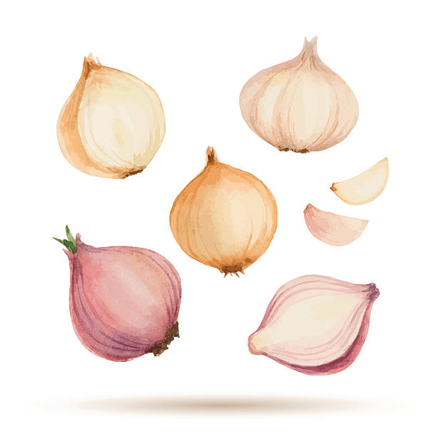 Set of watercolor vegetables. Set of watercolor vegetables, onion, garlic. Vector illustration. domestic kitchen stock illustrations