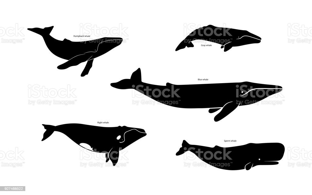 Set of whale species icons. Vector illustration isolated on white background. vector art illustration
