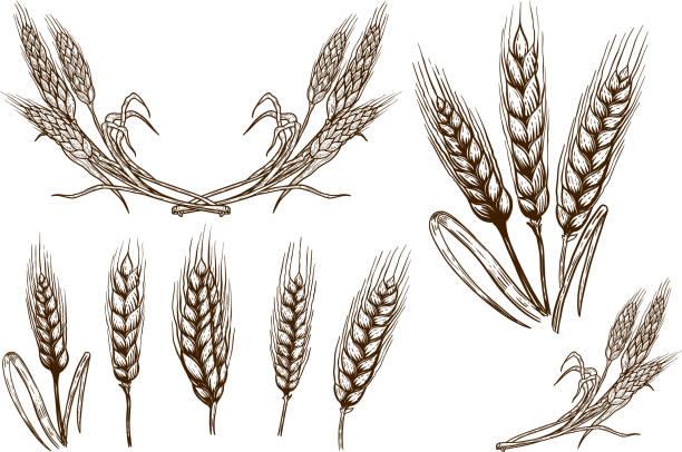 buğday spikelet illüstrasyonlar beyaz arka plan üzerinde kümesi. tasarım öğesi için poster, kart, afiş, el ilanı. - buğday stock illustrations