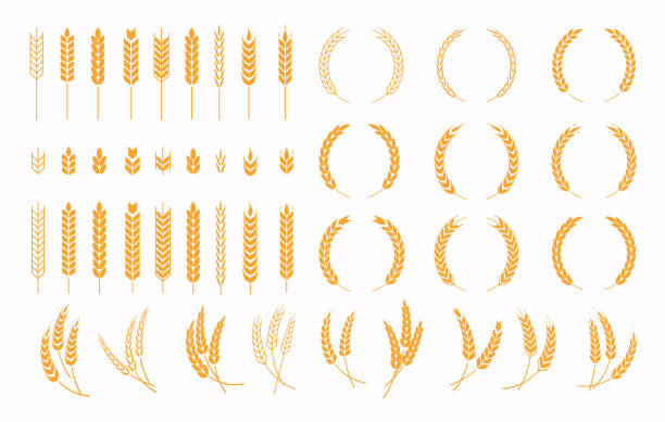 Set of wheats ears icons and wheat design elements. Harvest wheat grain, growth rice stalk and whole bread grains or field cereal nutritious. Set of wheats ears icons and wheat design elements. Harvest wheat grain, growth rice stalk and whole bread grains or field cereal nutritious. beer stock illustrations