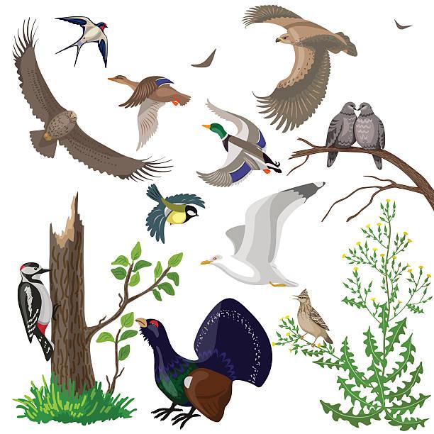 bildbanksillustrationer, clip art samt tecknat material och ikoner med set of wild birds - tjäder