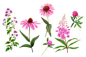 Set of wild field pink flowers and herbs, watercolor hand drawn vector illustration