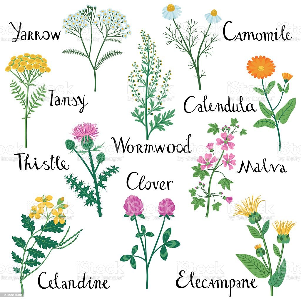 Set of Wild Herbs used in Medicine. vector art illustration