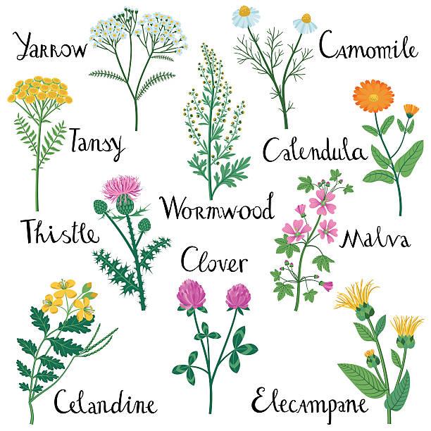 Set of Wild Herbs used in Medicine. Set of Wild Herbs: Celandine, Yarrow, Clover, Elecampane, Milk Thistle,  Tansy, Malva, Wormwood, Calendula, Chamomile. chamomile plant stock illustrations