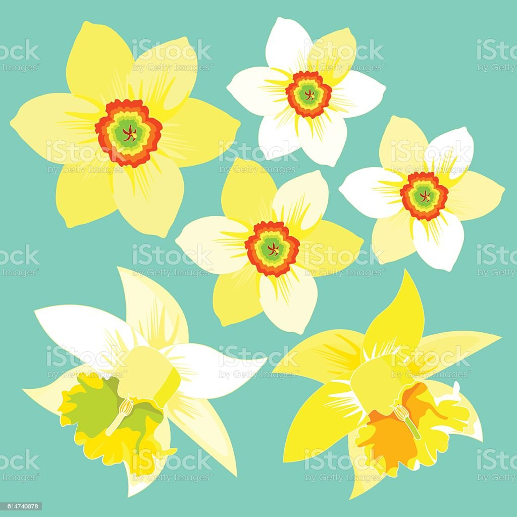 set of yellow daffodil flower. vector illustration vector art illustration