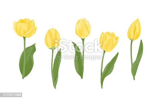 Set of yellow tulips of different shapes. Beautiful blooming spring flowers, buds, green leaves and stems isolated on white background. Vector illustration in cartoon flat style.