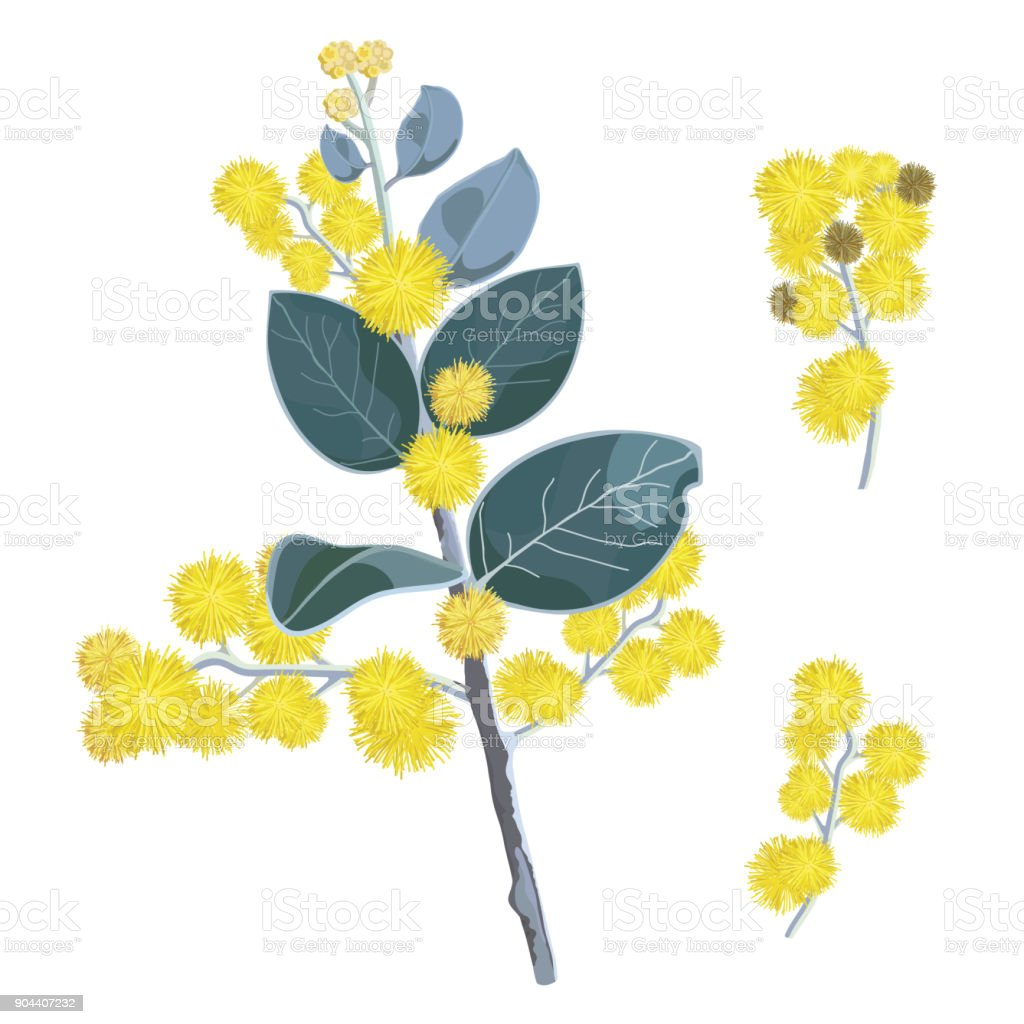 Set of yellow Wattle Tree flowers vector art illustration