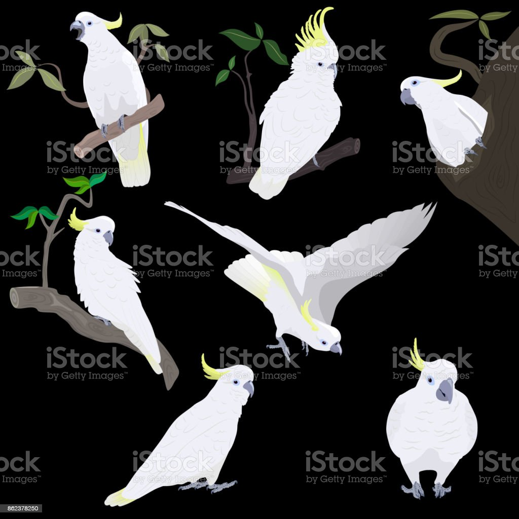 set of yellow-crested cockatoos vector art illustration