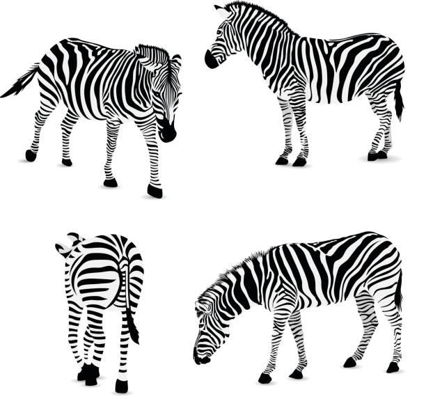 set of zebra, vector illustration. - zebras stock-grafiken, -clipart, -cartoons und -symbole
