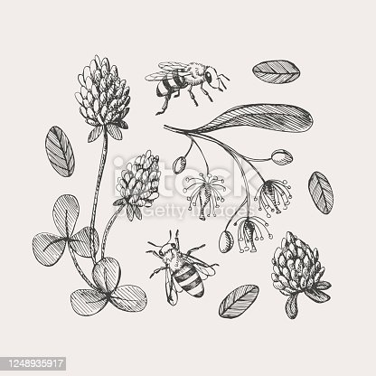 Hand-drawn set on the theme of beekeeping. Honey bees fly around clover and linden flowers vector illustration on a light isolated background. Botanical drawings in vintage style.