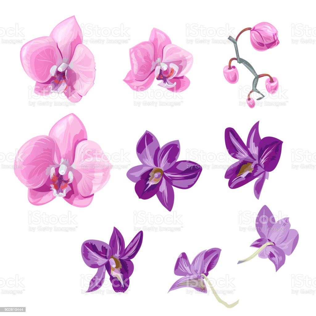 Set Orchid Flowers Pink Purple Flowers Buds Tropical Plants On White
