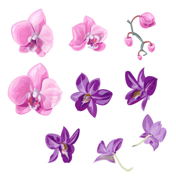 Set orchid flowers (Phalaenopsis, Dendrobium), pink, purple flowers, buds, tropical plants on white background, digital draw, realistic vector botanical illustration for design Set orchid flowers (Phalaenopsis, Dendrobium), pink, purple flowers, buds, tropical plants on white background, digital draw, realistic vector botanical illustration for design orchid stock illustrations