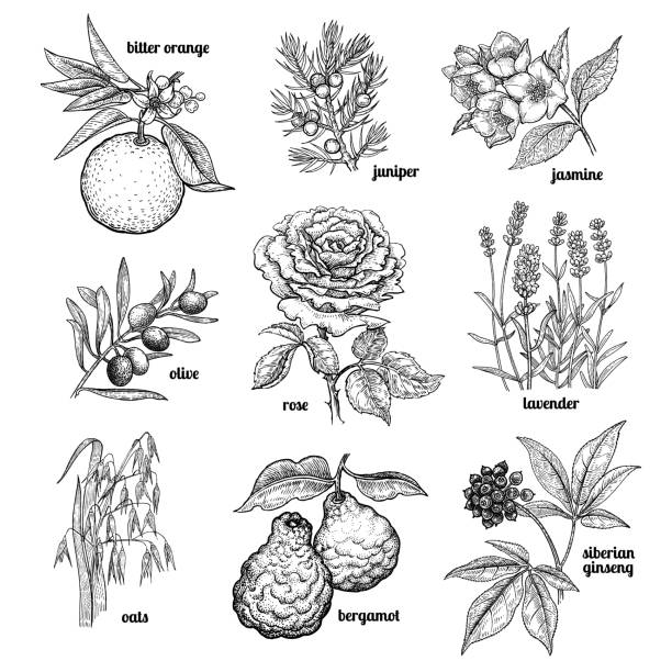 Set plants used in medicine, cosmetics, cooking. Jasmine, flower rose, lavender, juniper, bergamot, oats, olive tree branch, orange fruit, Siberian ginseng. Set plants for cosmetics, medicine, cooking. Vector illustration. Vintage engraving style. lavender plant stock illustrations