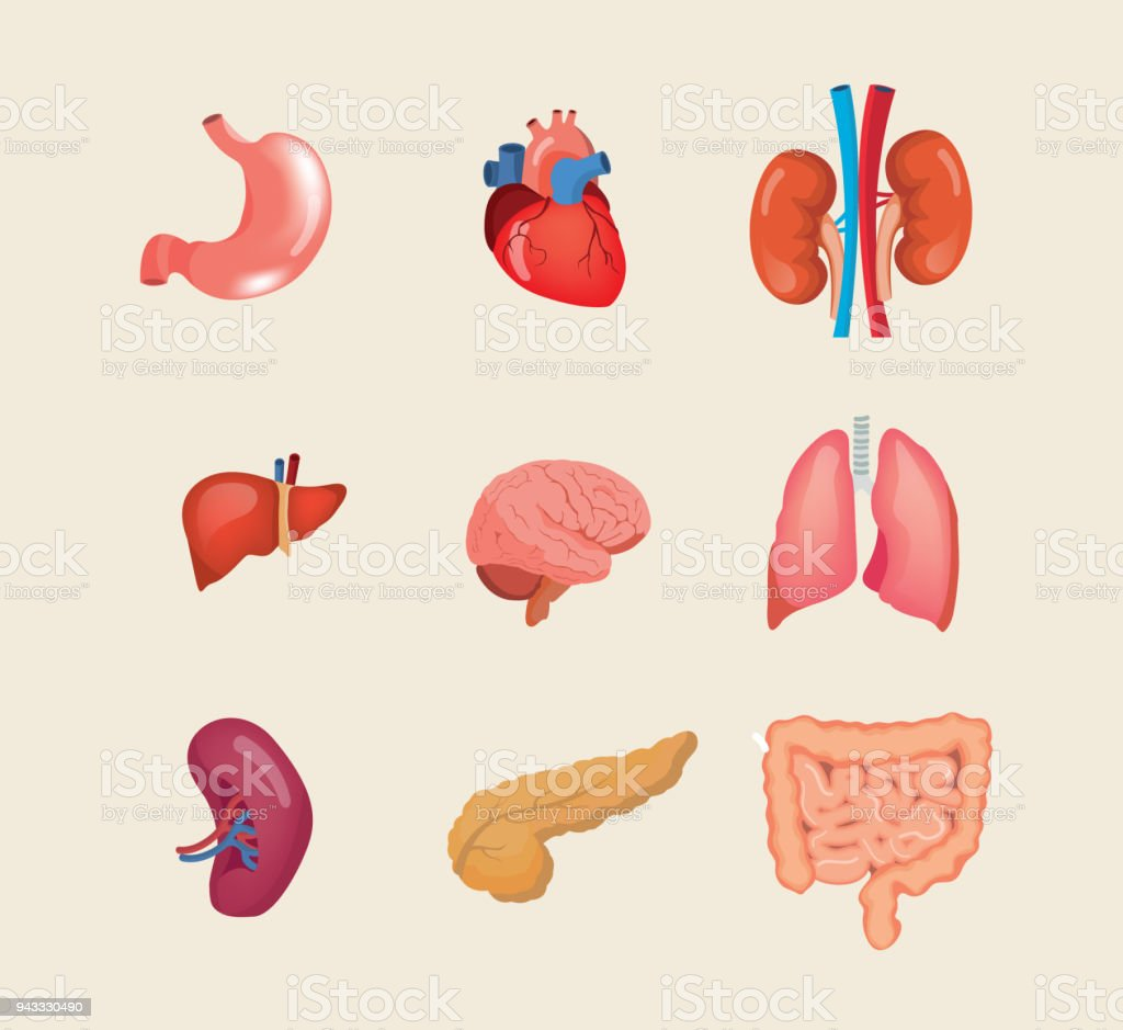 Set Realistic Human Organs Anatomy Body Biology Structure Internal ...
