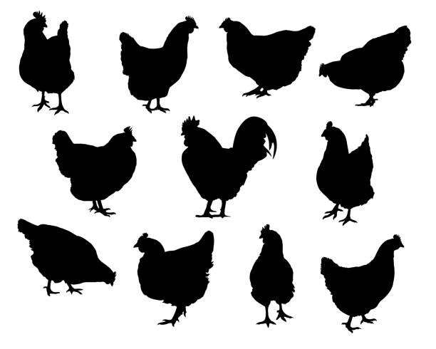 Set realistic silhouettes of hens and chickens - isolated vector on a white background Set realistic silhouettes of hens and chickens - isolated vector on a white background hen stock illustrations