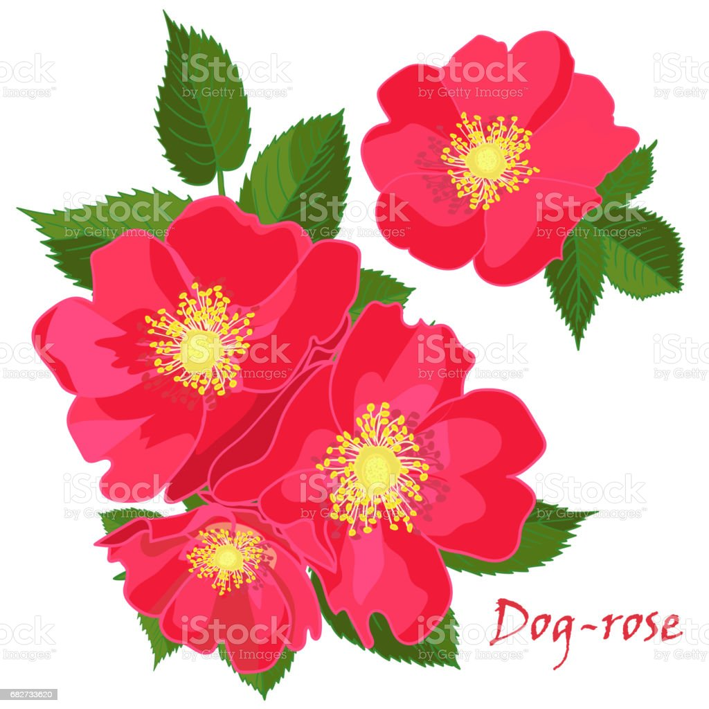 set red flowers of dogrose with leaves in realistic handdrawn