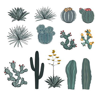 Set saguaro cactus, blooming cacti, prickly pear, agaves, and yucca. Vector collection isolated on white background.