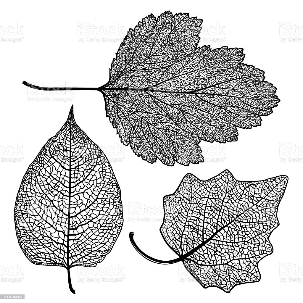 set skeletonized leaves vector art illustration