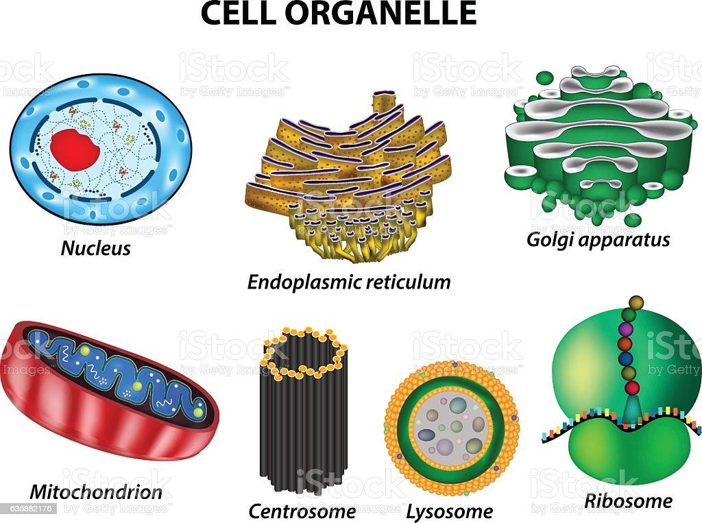 Set the cell organelles. Nucleus, Golgi apparatus, mitochondria, centrosome, lysosome, vector art illustration