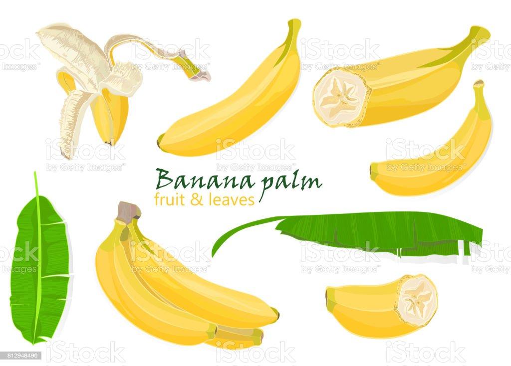 Ilustración de Hojas De Plátano De Set Palmeras Tropicales Frutos ...