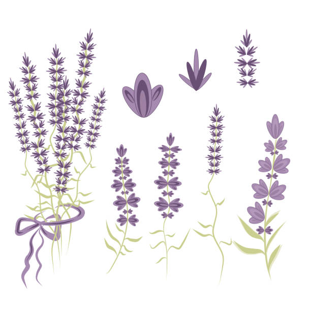 Set Vector Elements for  Lavender design in the style of Provence, lavender flowers to create a romantic gentle compositions. Set Vector Elements for  Lavender design in the style of Provence, lavender flowers to create a romantic gentle compositions. lavender color stock illustrations