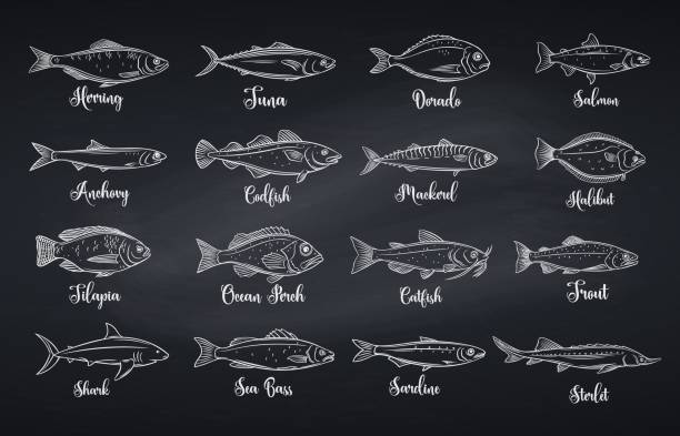 Set vector fish Outline fish. Engraved seafood with bream, mackerel, tuna or sterlet, catfish, codfish and halibut. Linear icon tilapia, ocean perch, sardine, anchovy, sea bass and dorado. Chalkboard style, vector illustration fish stock illustrations