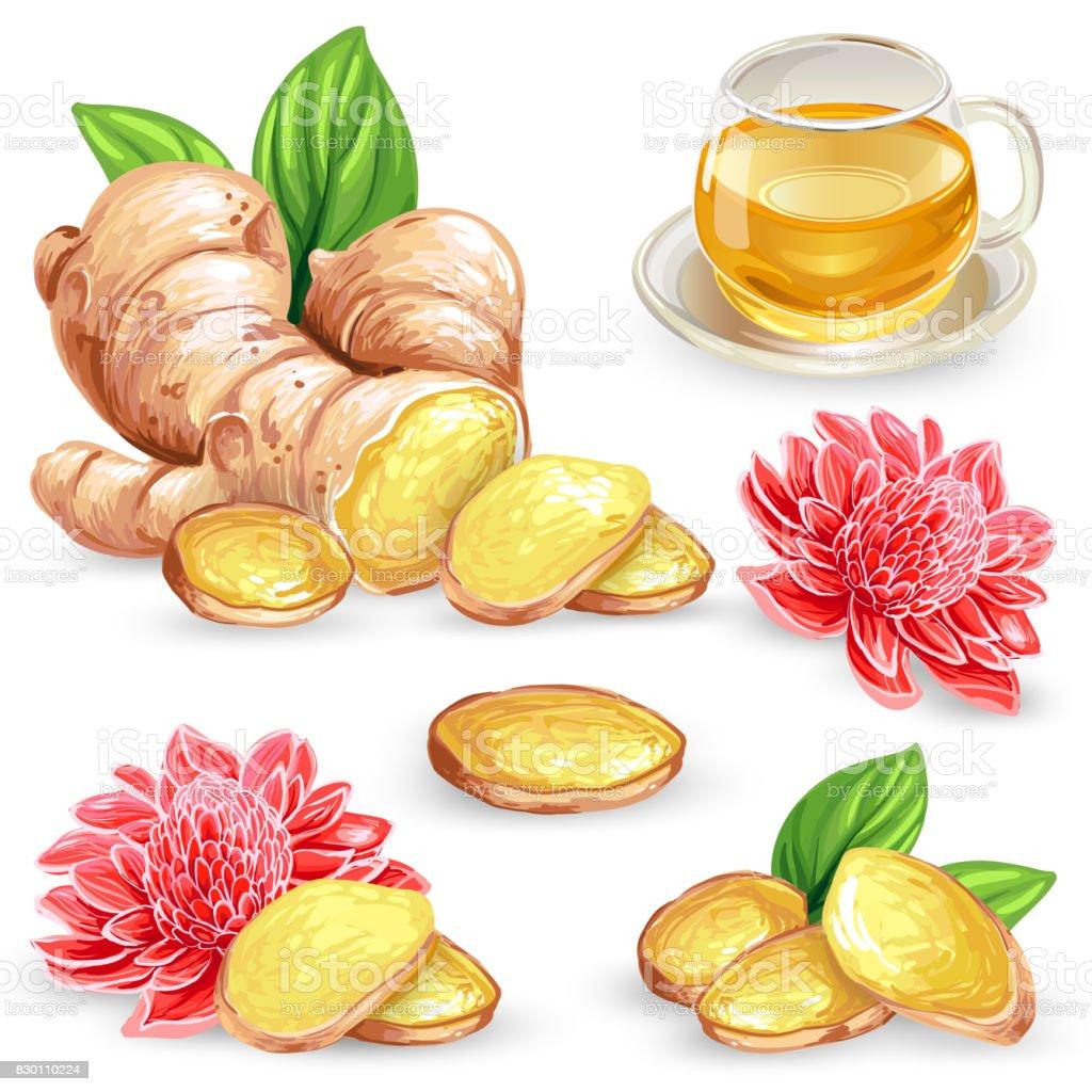 Set vector illustration of a fresh ginger root, sliced, flower and ginger tea. vector art illustration