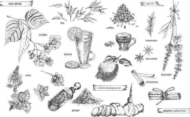 bildbanksillustrationer, clip art samt tecknat material och ikoner med ställ vintage handritade skiss heta drinc element isolerade på vit bakgrund. stjärnanis, kanel, lavendel, rosmarin, citron, ingefära, kaffe, te, mynta, linden. - lavender engraving