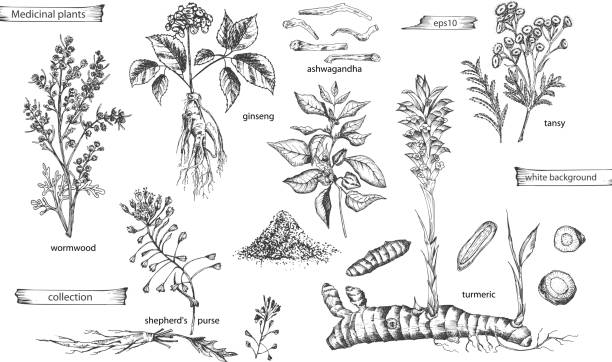 Set vintage hand drawn sketch medicine herbs elements isolated on white background. wormwood, turmeric, tansy, ashwagandha, shepherds, purse, ginseng. Vector illustration art. Set vintage hand drawn sketch medicine herbs elements isolated on white background. wormwood, turmeric, tansy, ashwagandha, shepherds, purse, ginseng. Graphic vector illustration art. shepherd's purse stock illustrations
