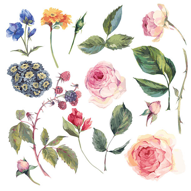 set vintage vector elements of english roses - vintage flowers stock illustrations, clip art, cartoons, & icons