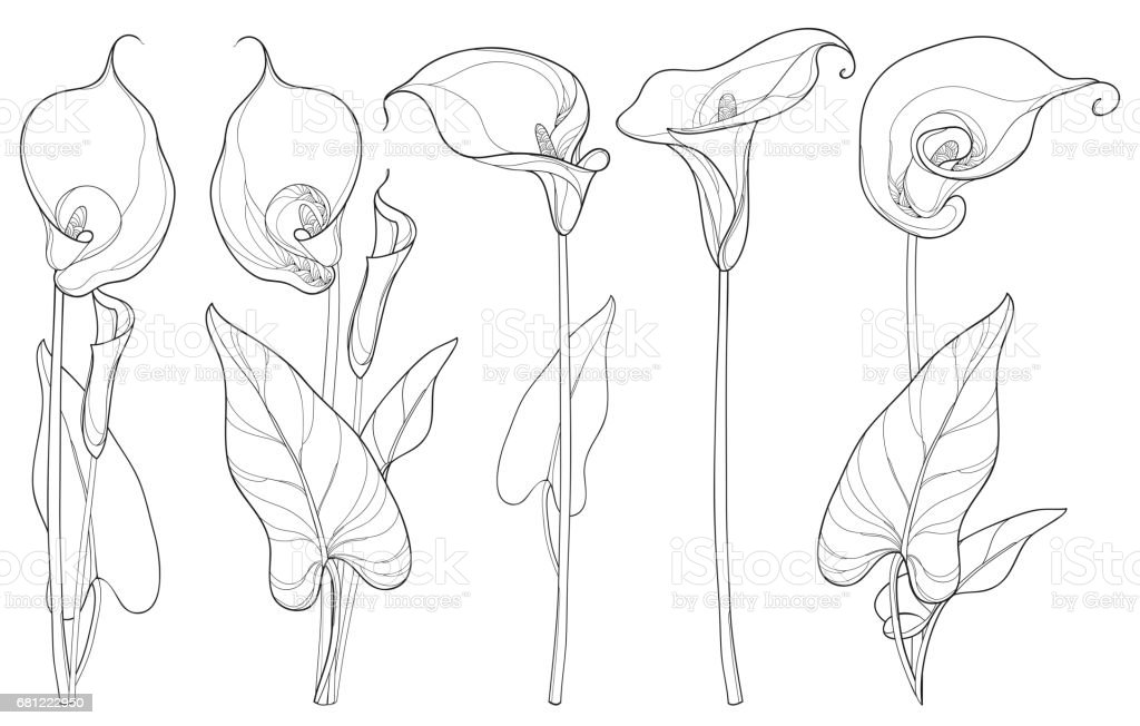Set with Calla lily flower or Zantedeschia isolated on white background. - Illustration vectorielle