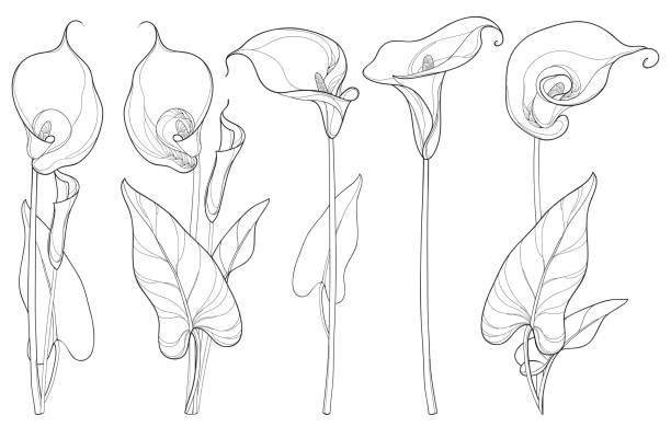 Serti de fleur de Lys Calla ou zantedeschias isolé sur fond blanc. - Illustration vectorielle