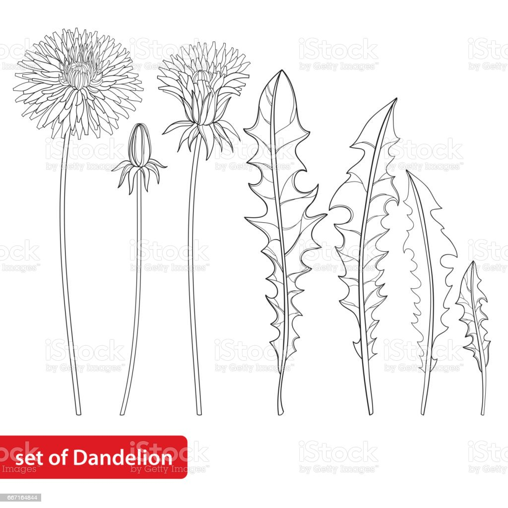 set with dandelion or taraxacum flower bud and leaves