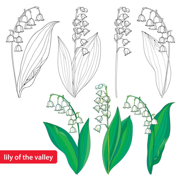 Set with Lily of the valley or Convallaria isolated on white. Vector set with outline Lily of the valley or Convallaria flowers and leaves isolated on white. Template with ornate floral element for spring design or coloring book. Early lily in contour style. lily of the valley stock illustrations