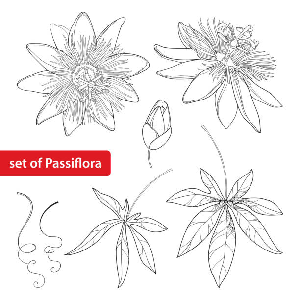 illustrazioni stock, clip art, cartoni animati e icone di tendenza di set with outline passiflora. exotic flowers, bud, leaf and tendril isolated. - passiflora