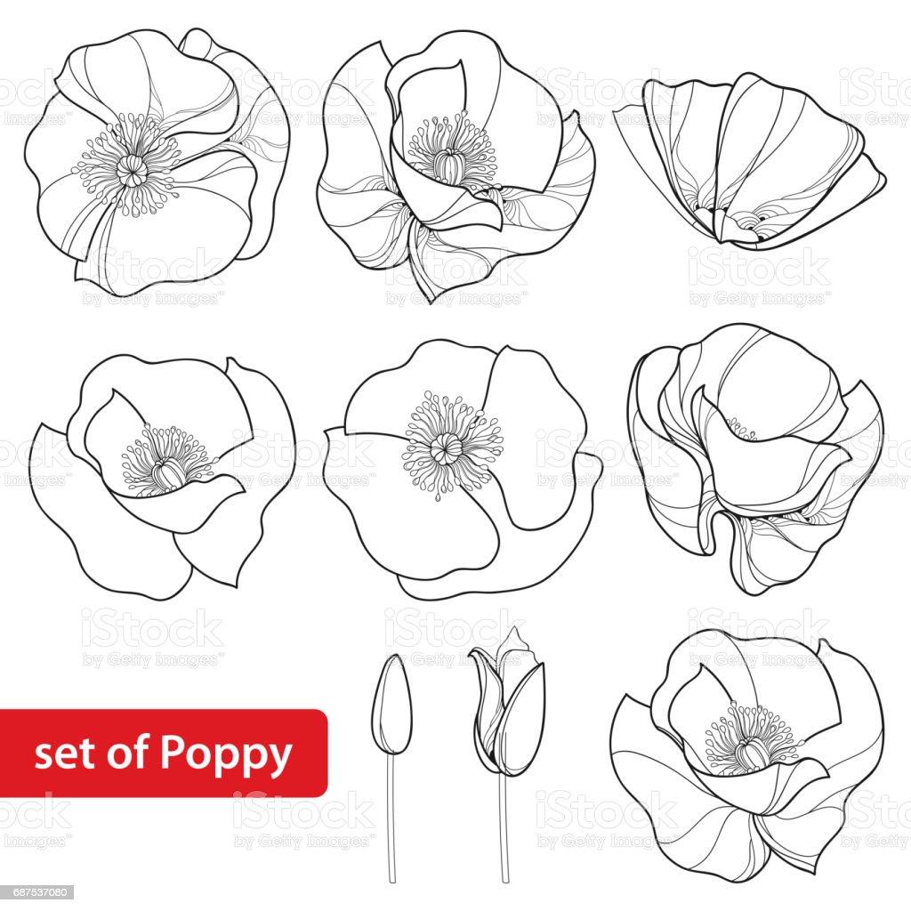 Con contorno de amapolas, brote y se abren flores aisladas sobre fondo blanco. - ilustración de arte vectorial
