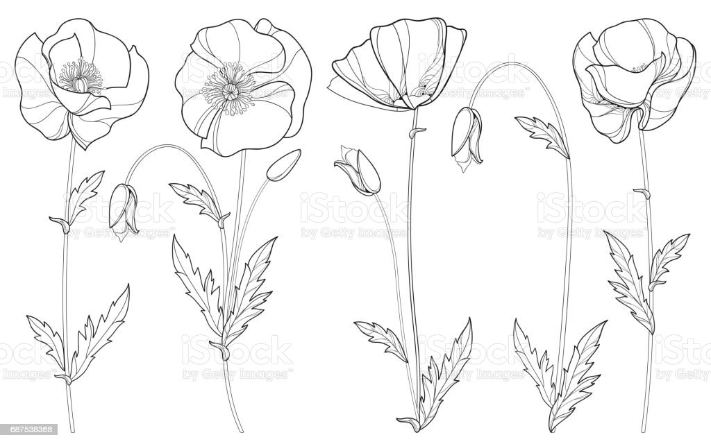 Line Drawing Poppy Flower : Set with poppy flower bud and leaves in black isolated on